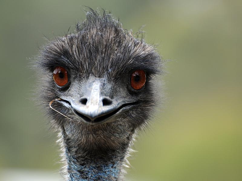 1. Forming an 'Emu Parade'