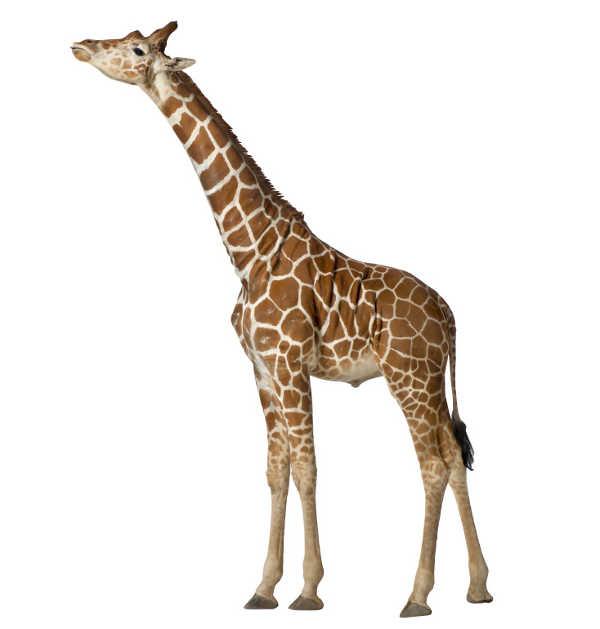 Wallsticker6, Giraffe Height Chart. If You Prefer Your Giraffes Standing  Tall, The Wall Sticker Company ... Part 74