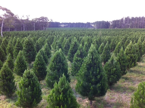 Christmas Trees Delivered - The Christmas Tree Man - Delivering Perfect Pines To Your Home