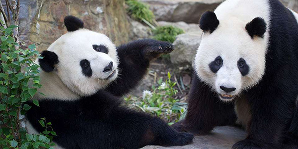 Adelaide-panda-zoo-web