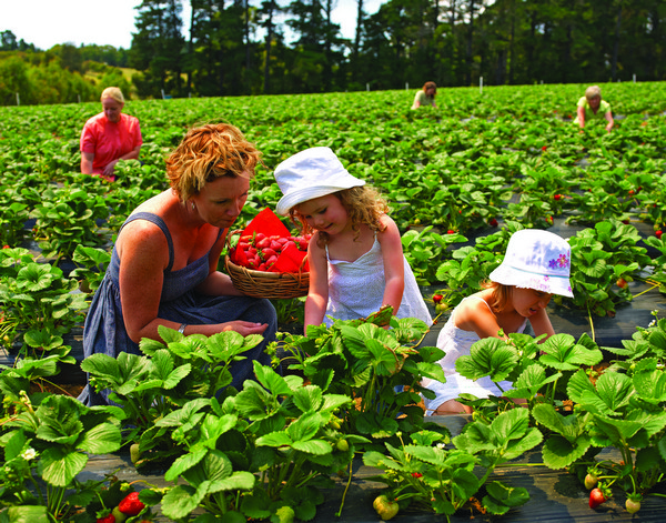 Sunny-Ridge-Strawberry-Farm