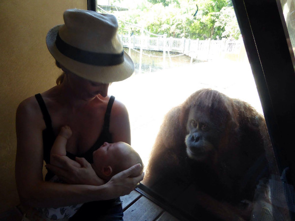 orangutan breastfeeding1