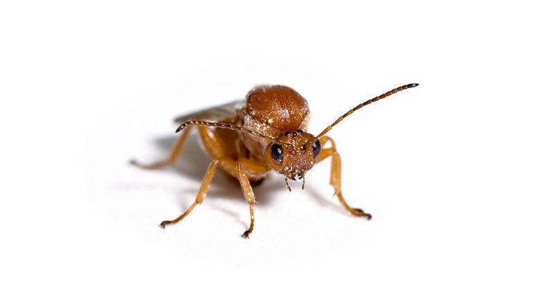 Californian gall wasp