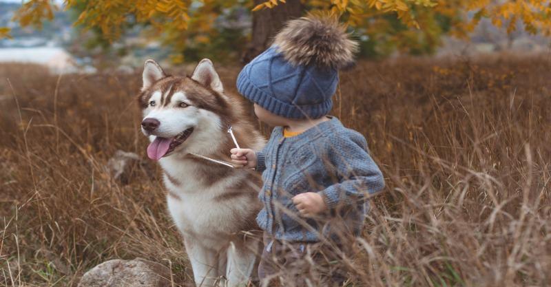 Toddler with husky dog