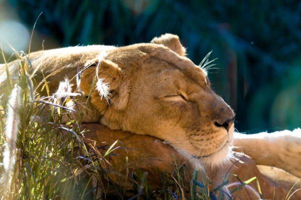 lion at taronga zoo