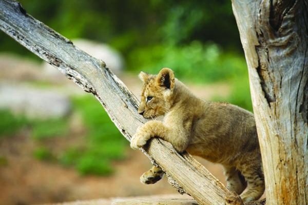 Lion cub at Werribee Open Range Zoo