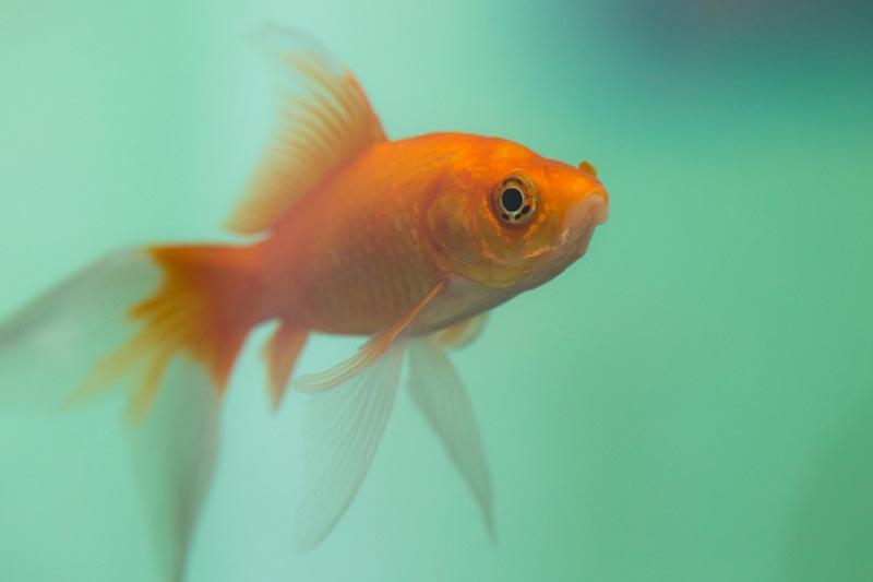 Goldfish swimming